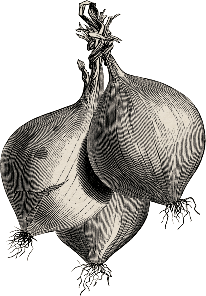 Hindiba Nature House  - Illustration Of The Onions
